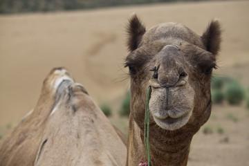 Portrait of a camel in desert dunes, India