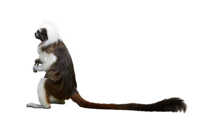 Foto op Canvas Aap Cotton-top tamarin. Isolated