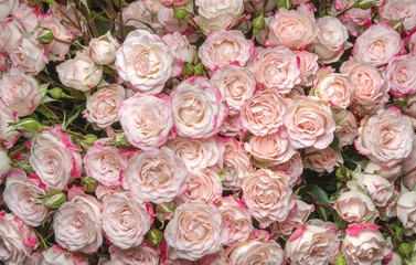 white-pink roses