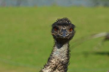 Poster Struisvogel Emeu