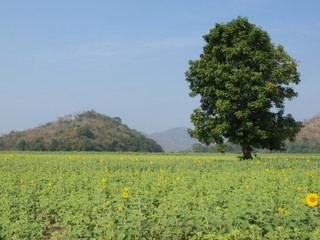 A tree and the field of sunflowers.