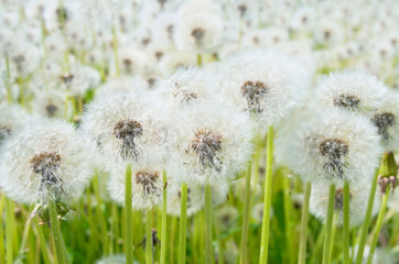 Dandelions in the field close up