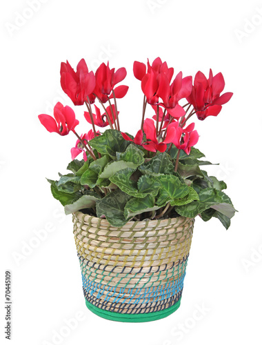 Cyclamen en pot stock photo and royalty free images on pic 70445109 - Arrosage cyclamen en pot ...