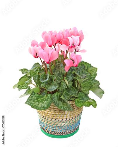 Cyclamen rose en pot stock photo and royalty free images on pic 70445128 - Arrosage cyclamen en pot ...