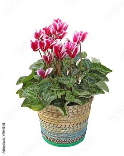 Cyclamen rouge et blanc en pot stock photo and royalty free images on pic 70445145 - Arrosage cyclamen en pot ...
