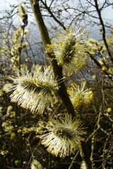 Chatons de saule au printemps,Aisne,Picardie