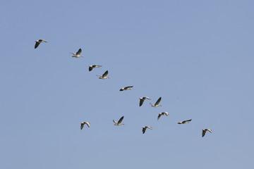 geese flying in blue sky