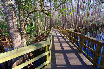 Wall Mural - Highlands Hammock State Park in Florida