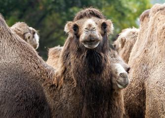 Printed roller blinds Camel Bactrian camel