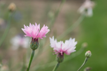 Two pink flowers of a cornflower in a garden