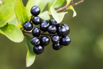 black berries and green leaves