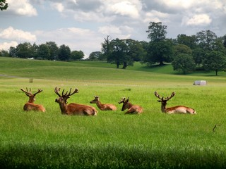 Deers in the UK zoo