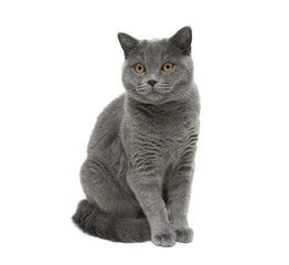 gray cat sitting on a white background