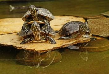 Turtles,decorative turtle - Trachemys scripta elegans
