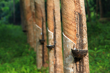 Rubber tree, Thailand