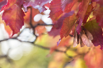 red autumnal leaves of maple Tatar