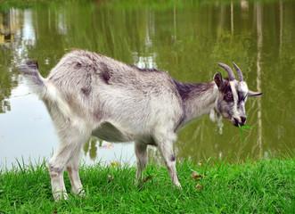 animal, goat