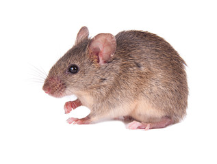 mouse rodent photos royalty free images graphics vectors videos adobe stock. Black Bedroom Furniture Sets. Home Design Ideas