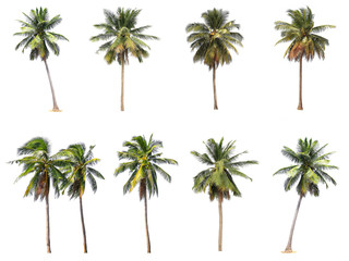 Difference of coconut tree isolated on white