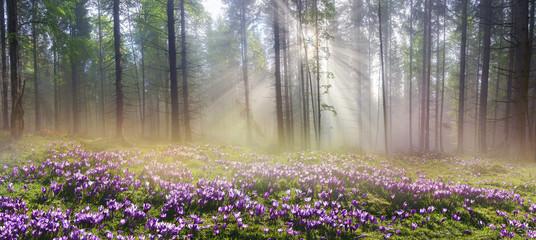 Wall Mural - Magic Carpathian forest at dawn