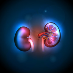 Kidneys anatomy illustration, abstract blue background.