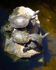 Three turtles sunbathing on a rock