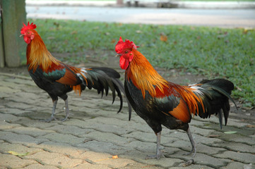 Free-range Rooster Walking Around