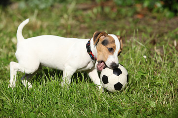 Active puppy of jack russell terrier playing