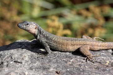 Gran Canaria Lizard - Gallotia stehlins