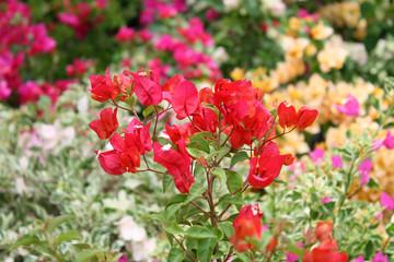 flowers Pink blooming bougainvilleas