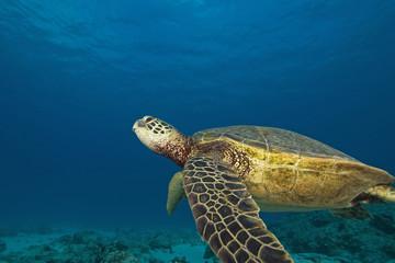 Hawaii Turtle Underwater