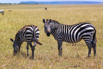Resting Zebras - Safari Kenya