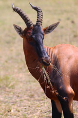 Hartebeest Antelope - Safari Kenya
