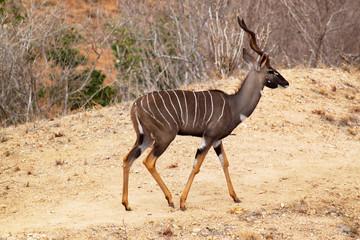 Antelope Tragelaphus Imberbis - Safari Kenya