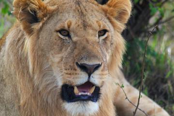 Lion Head - Safari Kenya