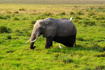 Elephant - Safari Kenya