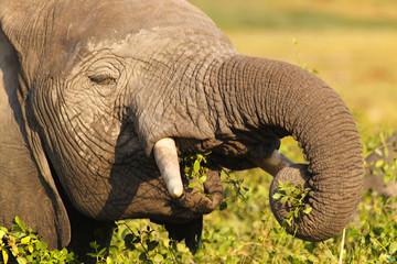 Elephant Eating - Safari Kenya