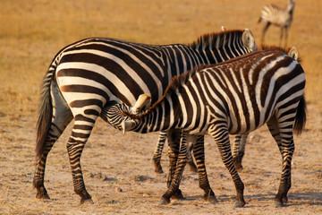 Zebra Breastfeeding - Safari Kenya