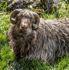 Sheep from Faroe Island with horns cut