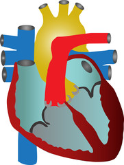 Human heart . Vector illustration