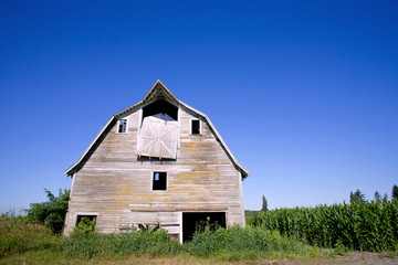 old barn in the corn field