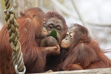 Acrylic Prints Monkey Oeran oetans eten samen een komkommer.