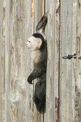 Poster Monkey Kapucijnaapje op de uitkijk.