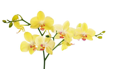 large branch with light yellow orchid flowers