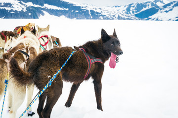 Sled dogs take a break from mushing across a snow plain
