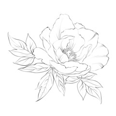 Ink Painting of Peony isolated on white.