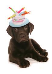 happy birthday labrador puppy