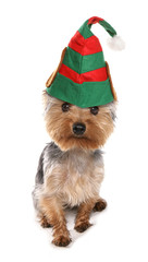 Yorkshire terrier elf