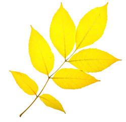 Yellow ash leaf