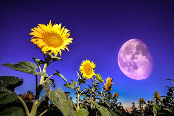 Sunflowers on night - with stars sky and stars full moon backgro
